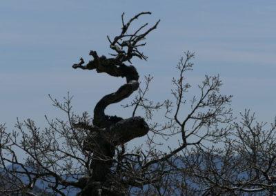 Mystérieux dragon, Chêne bétique (Quercus alpestris)