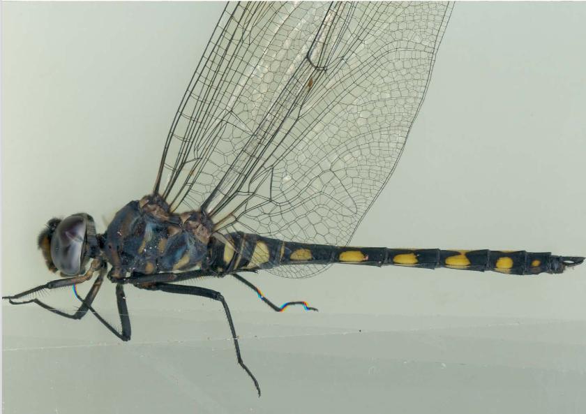 Odonata, Andalusia, dragonfly